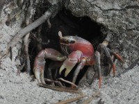 170_crabe_rouge